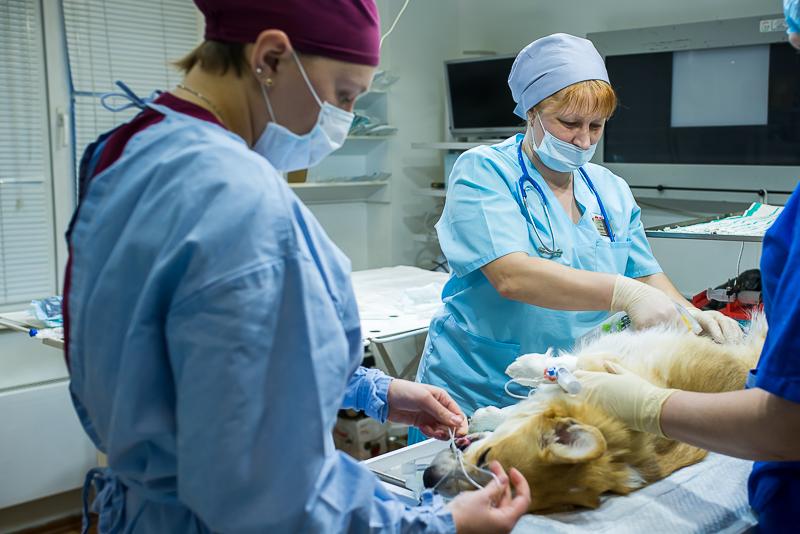 Операция - кесарево (фото ветклиники Амикус)