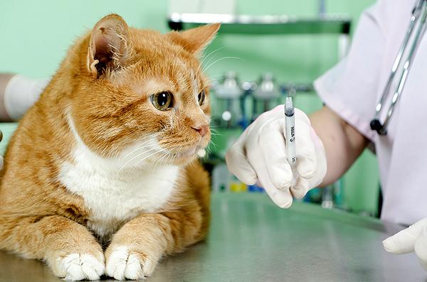 вакцинация кошек в ветеринарной клинике Амикус безопасна и быстра.