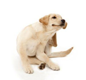 Собака чешется - симптомы и возможные заболевания